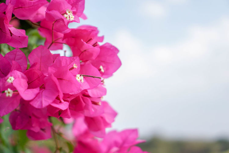 Beauty In Nature Blooming Blossom Bougainvillea Bougaville Close-up Day Flower Flower Head Focus On Foreground Fragility Freshness Growth Nature No People Outdoors Petal Pink Color Plant Springtime
