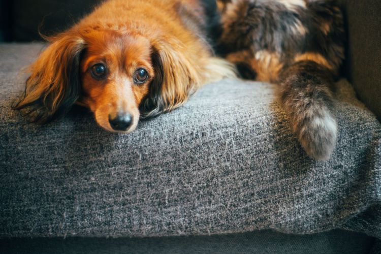 Dog Canine Domestic Pets One Animal Domestic Animals Animal Themes Mammal Animal Vertebrate Indoors  Relaxation No People Portrait Looking At Camera Brown Animal Body Part Animal Head  Cat And Dog Dog And Cat Dachshund Cute Pets Pet Portraits Pet Photography