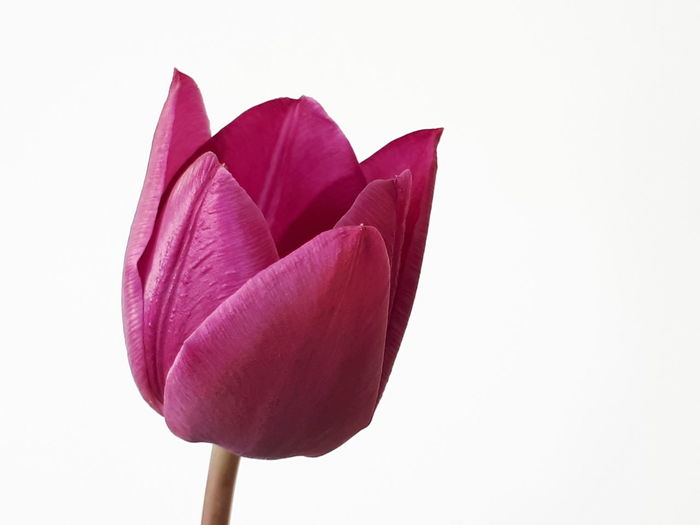 Close-up of red tulip flower against white background
