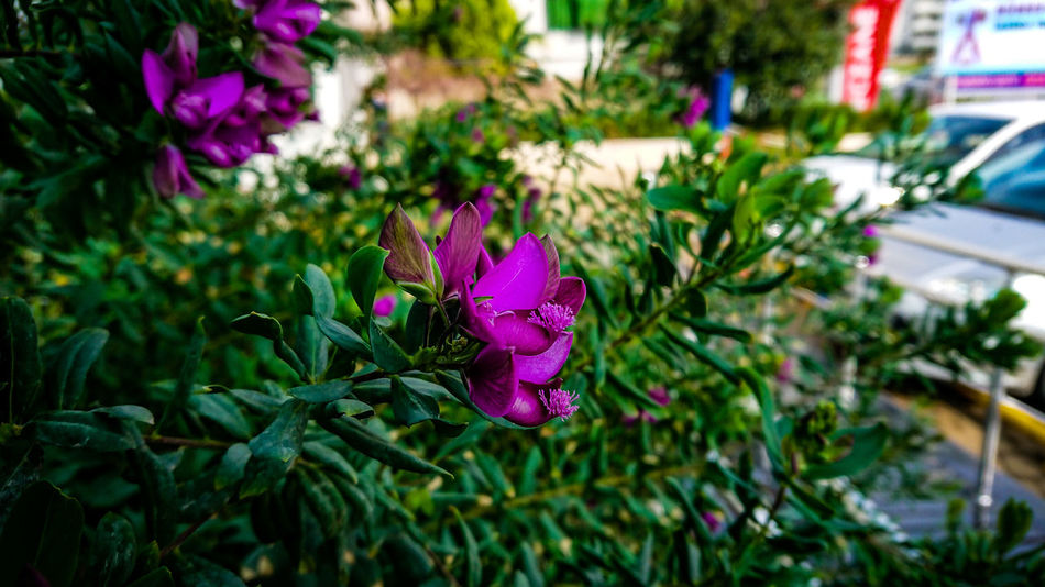Flower EyeEm Best Shots EyeEmNewHere EyeEm Selects Purple Flower Nature Plant No People Focus On Foreground Outdoors Beauty In Nature Close-up Leaf Day Botanical Garden Fragility Freshness Flower Head