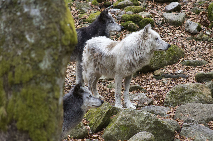 Attentive Nature Orlu Wolf Sanctuary Pyrenees Tree Trunk Wolves♥ Black Outdoors Three Animals Three Wolves White