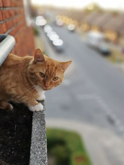 Bird watching Residential Building Egde High Up Jumping Birdeater Flying Kat Huaweip20pro Pets Feline Domestic Cat Portrait Animal Themes Close-up Ginger Cat Whisker Cat At Home Animal Face Domestic Animals Carnivora
