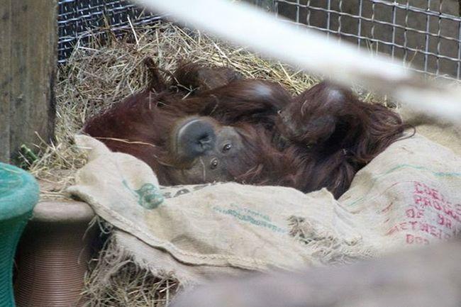 She's Beautiful Beauty Animal Animalphotography Photography StillLife Orangutan Nature Wildlife Zoo