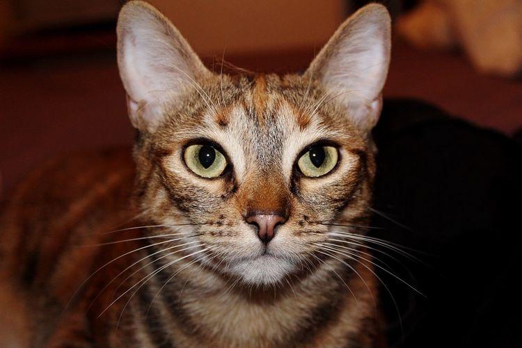 EyeEm Selects Domestic Cat Feline Animal Themes Looking At Camera