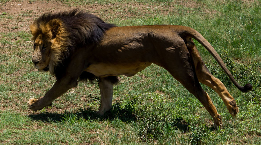 High Angle View Of Lion On Grassy Field