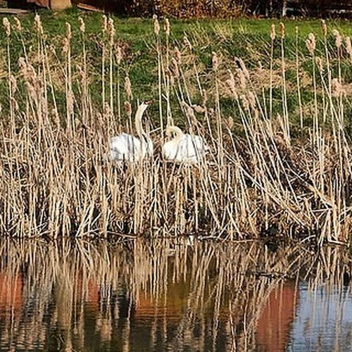 Swans Nesting www.facebook.com/melaniecycles Naturephotography Nikon Nikon_photography Nikons9900 Lincoln Lincolnshire Cyclelikeagirl Viewfromthecyclepath Commutebybike Birds Nest River Riverphotography Riverwitham