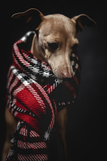 Dog wearing scarf while sitting against gray background