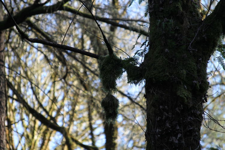 Moss & Lichen Pacific Northwest  Pacific Northwest Beauty Beauty In Nature Branch Close-up Day Focus On Foreground Forest Green Color Growth Low Angle View Moss Nature No People Outdoors Sky Tree Tree Trunk