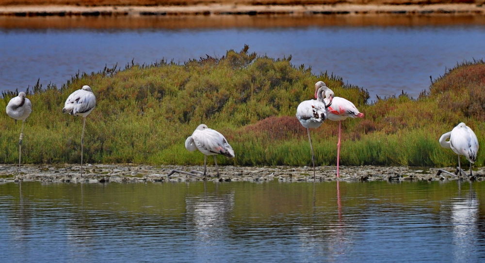 Animals Balearic Islands Beauty In Nature Bird Flamingos Ibiza Mediterranean Sea National Park Nature No People Outdoors Ses Salines Water Animals In The Wild Animal Themes Animal Wildlife Day