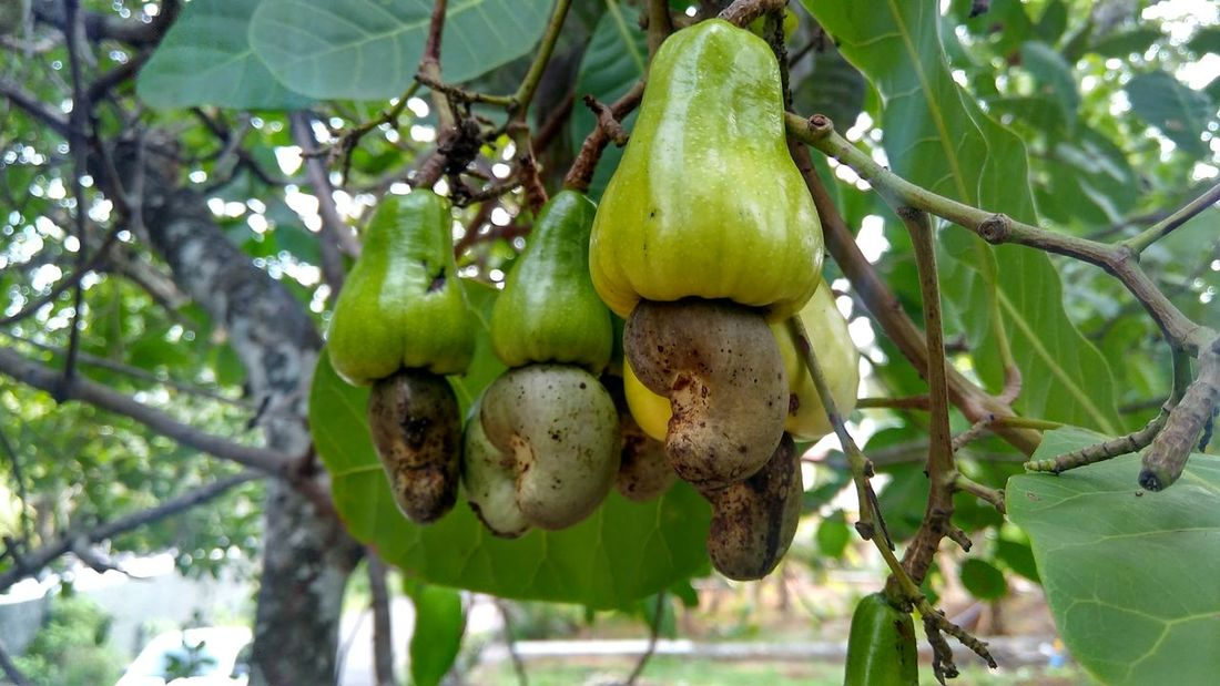 Beauty In Nature Cashew Nuts Close-up Day Freshness Growth Leaf Nature Organic Outdoors Sanku Photography Tree