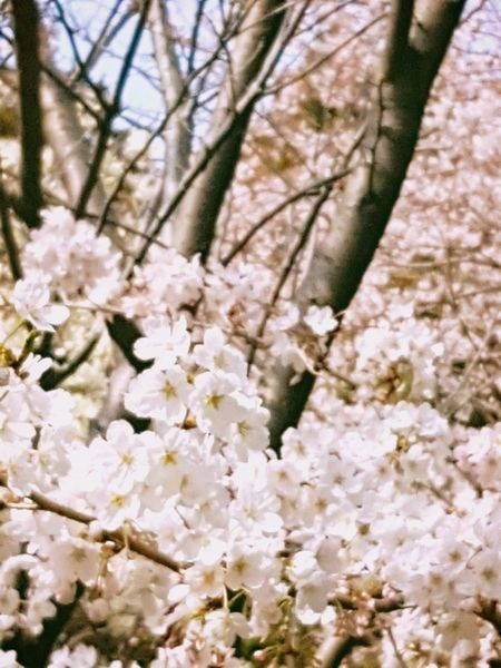 Spring Spring Flowers Tree Flower Branch Springtime Flower Head Blossom White Color Apple Blossom Cherry Blossom In Bloom Blossoming  Pure Greenery Flora