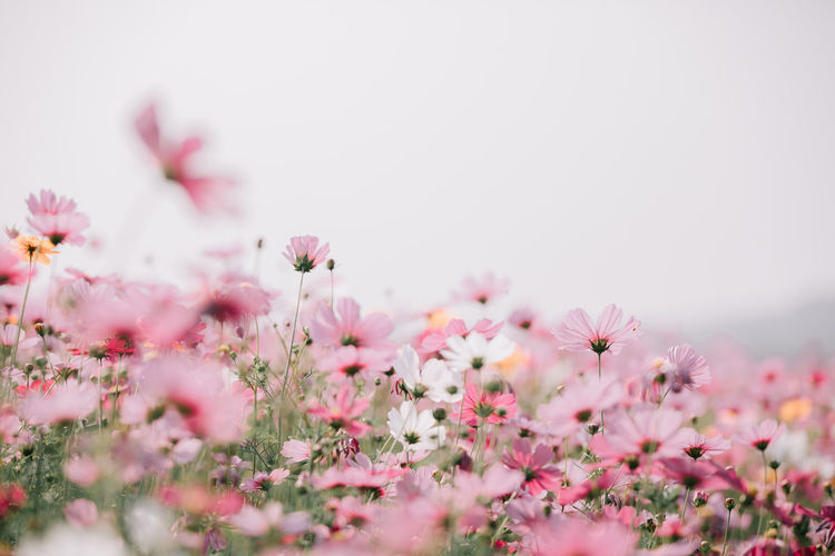 Cosmos Flower Cosmos Cosmos Field Wallpaper Backgrounds Flower Flowering Plant Freshness Plant Beauty In Nature Pink Color Fragility Vulnerability  Growth Selective Focus Petal Close-up Nature No People Flower Head Inflorescence Day Outdoors Tranquility Copy Space Cherry Blossom