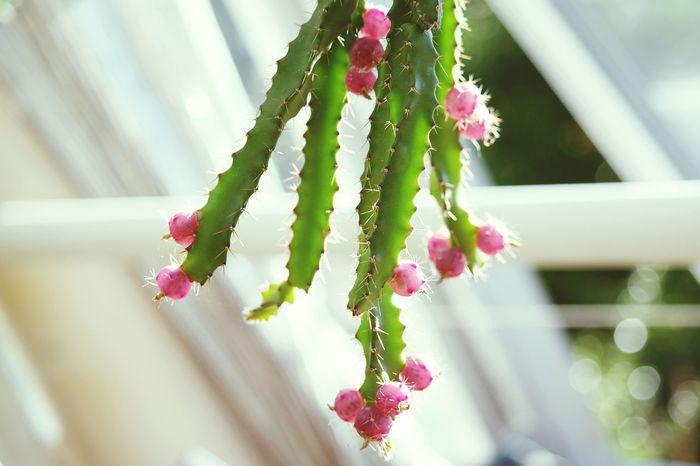 Cactus EyeEm Cactus Cactus Garden Cactuses Cactus Flower Cactusplants Cactusflower Flowers,Plants & Garden EyeEm Flower EyeEm Best Shots - Flowers