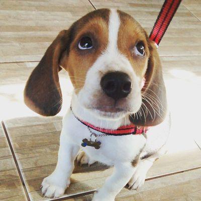 """A síntese da expressão """"cara de cachorro que caiu da mudança"""" Darwin Beagle Beagleworld My_dog_beagle mysnoopy ohdo instapet pet dog"""