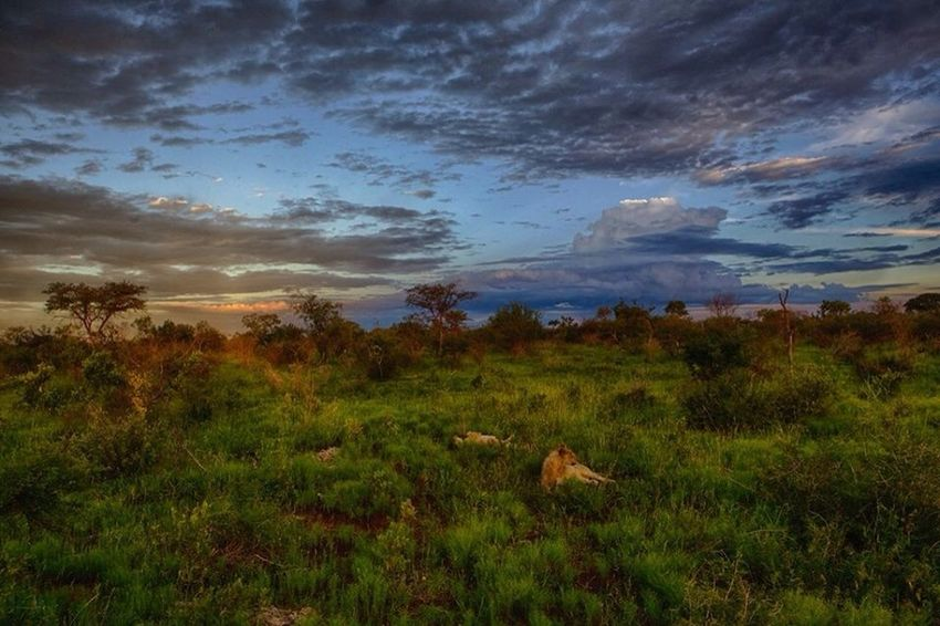 Stunning Madikwe Safari Scene Animal Themes Beauty In Nature Cloud Cloud - Sky Cloudy Grass Idyllic Landscape Lions Madikwe Outdoors Sky Tranquil Scene