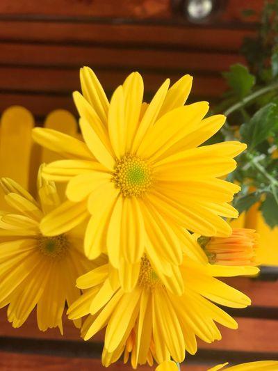 Flower Flowering Plant Yellow Freshness Petal Inflorescence Flower Head
