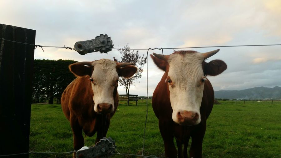 Two Cows Sky Grass Rural Scene Animal Themes Outdoors Horse Landscape Nature No People Domestic Animals Field Cloud - Sky Tree Day Paddock Mammal Bad Manors Ltd Kaiaua NZ Animals
