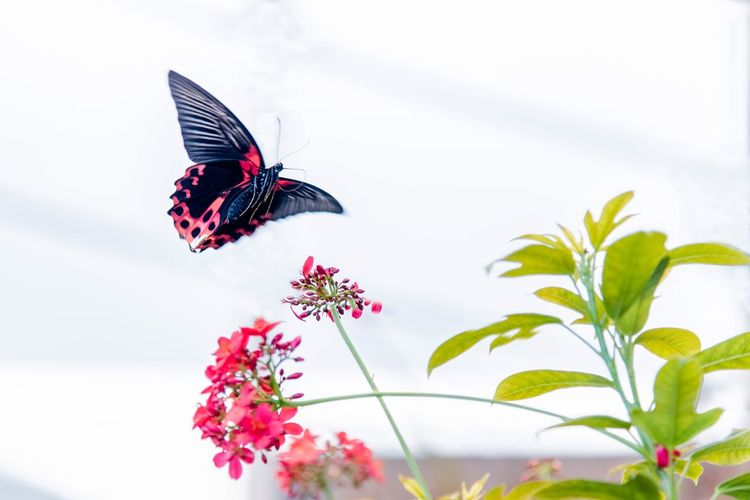 Flying butterfly Butterfly Insect Animal Themes Butterfly - Insect Animals In The Wild Flower One Animal Fragility Beauty In Nature Spread Wings Pollination Growth Outdoors Animal Wildlife Close-up Butterfly Plant No People Freshness