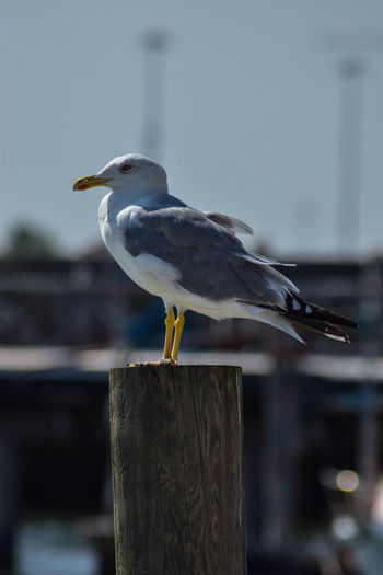 Close-up of seagull perching on wooden post