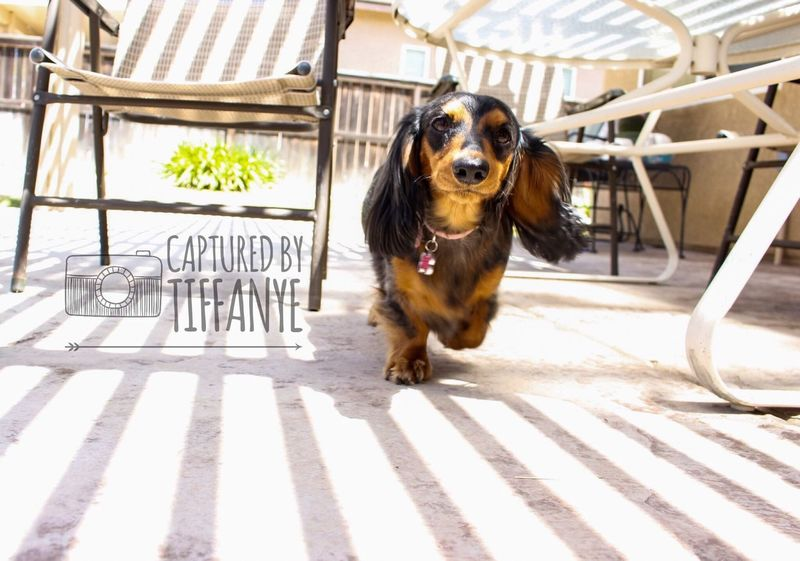 Dog Pets Animal Domestic Animals One Animal Dachshund Animal Themes Outdoors No People Day Mammal
