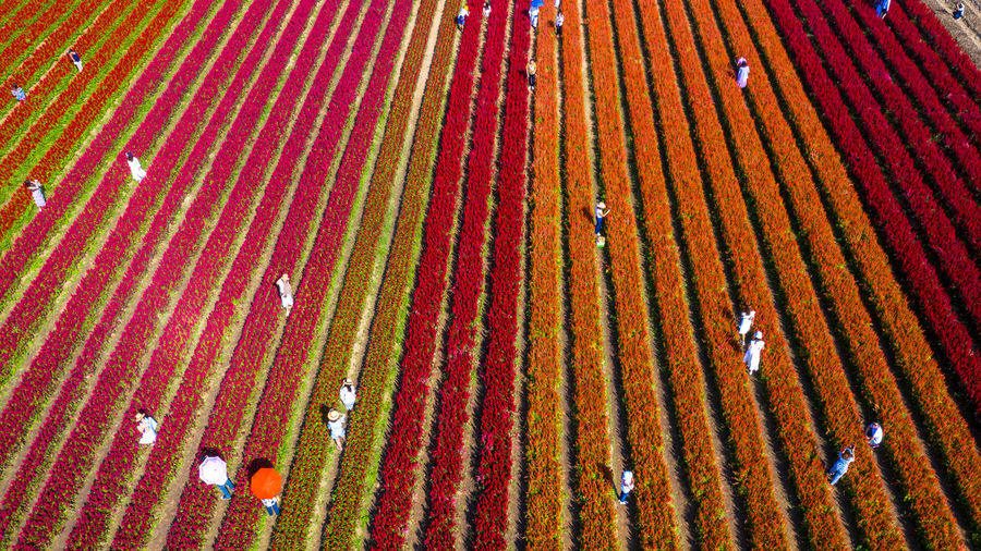 Aerial view flower field form above, rows of flower at flower farm, aerial view beautiful, thailand.