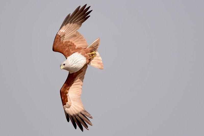 Hawk eagle flying hinting Buriram Thailand. Nikon d610 + Af-s300mm f4/d Bird Photography Birds Of EyeEm  Birdwatching Eagle Eagle Hunter Eagle Eye Hawk Af-s 300mm F4d Bird Eagle Birds_collection Eagle - Bird Eagle Eyes Eagle Flying Eagle Hunting Eagle In Flight Eagle Photography Eagle Portrait Eaglephotography Eagles Eagleview Hawk - Bird Hawk Flying Nikonphotography Wild Birds Water Sky Trees Wildlife