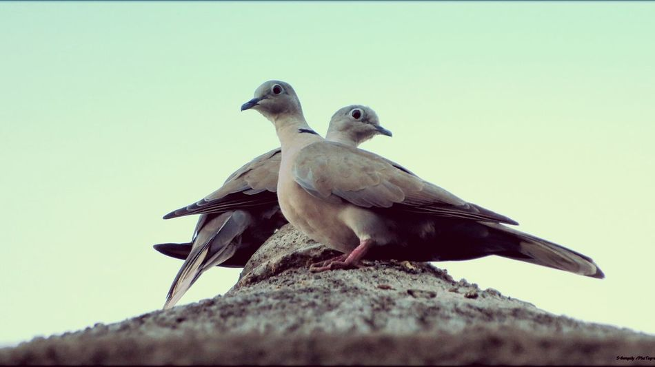 Birds🐦⛅ Clear Sky Mourning Dove Animal Wildlife Outdoors Birds Of EyeEm  Dove Love Casual Style Love To Take Photos ❤ ✌Peace✌