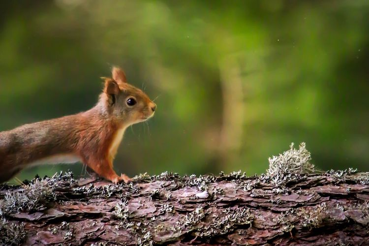 Cuuute Animal Photography Animals In The Wild Animal Themes Ekorre Forest Photography Canon 70d Canon 100mm Nature Photography Autumn Squirrel Animal Animal Themes One Animal Animal Wildlife Rodent Animals In The Wild Mammal