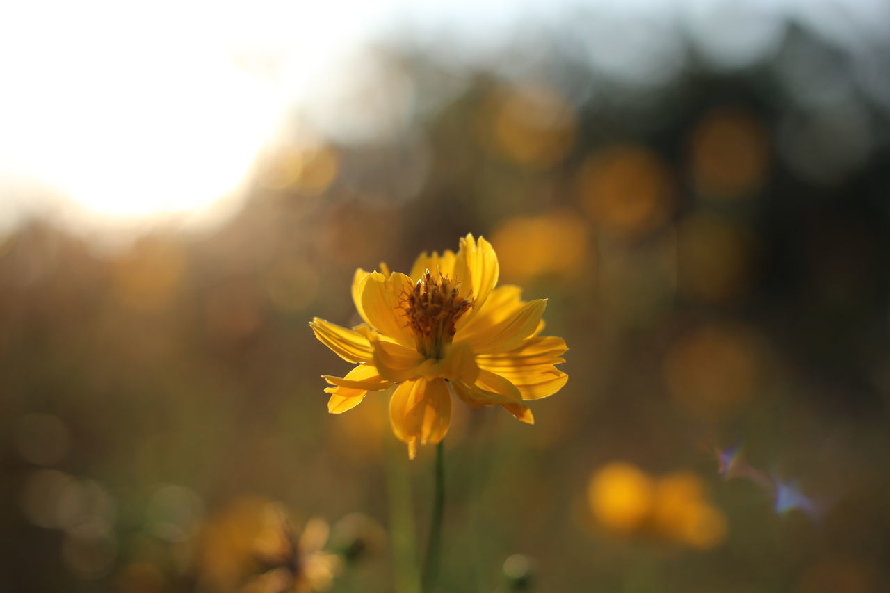 flowering plant, flower, freshness, fragility, vulnerability, beauty in nature, plant, yellow, close-up, petal, flower head, inflorescence, growth, focus on foreground, nature, no people, outdoors, day, selective focus, pollen