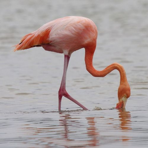 flamingo, Galapagos . Water Bird Animal Themes Animals In The Wild Wildlife Beak Flamingo One Animal Full Length Side View Standing Water Bird Wading Pink Color Zoology Animals In The Wild Birds Of EyeEm  Birds_collection Avian