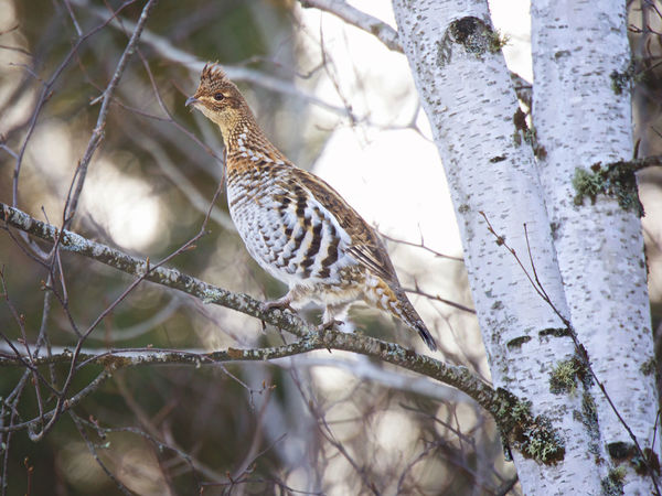 Ruffed Grouse Feathers Ruffed Grouse Tree Winter Animal Themes Animal Wildlife Animals In The Wild Beauty In Nature Birch Bark Birch Tree Birch Trees Bird Branch Close-up Day Grouse Mammal Nature No People One Animal Outdoors Partridge Perching Tree Upland Game