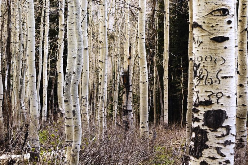Quaking Aspen, Big Cottonwood Canyon Nature Trail Hiking Forest Quaking Aspen Trees Weathered Outdoors Nature