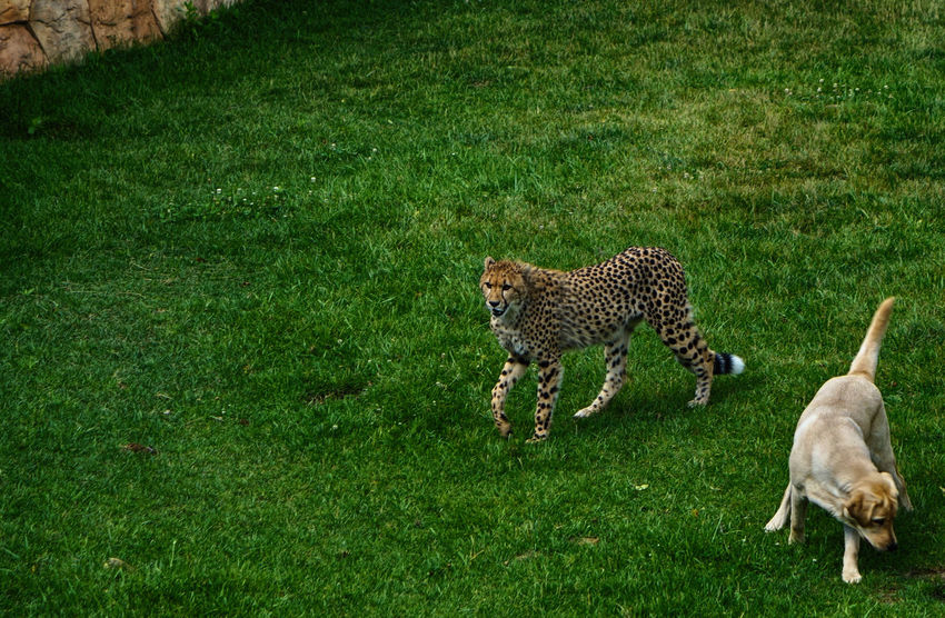 A Cheetah and his dog Animal Themes Animals In The Wild Best Friends Cheetah Cheetah Dog Companion Day Dogs Best Friend Feline Friend Full Length Grass Green Color Labrador Labrador Retriever Mammal Nature No People Outdoors Safari Animals Wildlife Pet Portraits