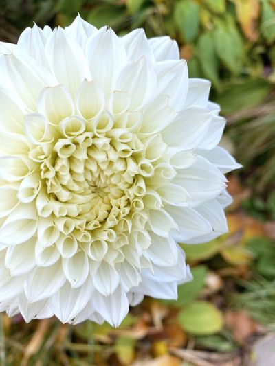Close-up of white dahlia flower on field