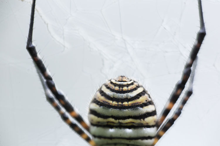 The spider species Argiope aurantia is commonly known as the yellow garden spider Argiope Aurantia Nature Spider Animal Animal Themes Animal Wildlife Arachnida Arthropoda Aurantia Beauty In Nature Close-up Day Nature No People One Animal Outdoors Spider Nature_collection Eyenaturelover Spiders Wild Life Wild Life Photo Wild Life Photography