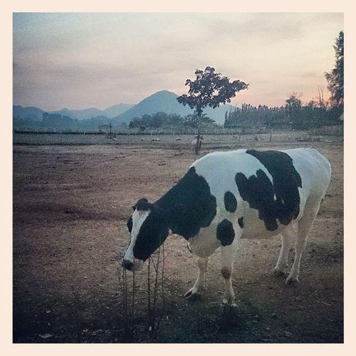 Cow Chokechai Farm Instaphoto instamood instagood animal