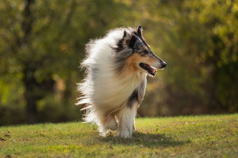 A beautiful Collie Collie Collie Dog One Animal Dog Canine Animal Themes Animal Domestic Mammal Pets Domestic Animals Plant Running Tree Nature Border Collie Day Sunlight Grass Vertebrate Looking Away Looking No People Outdoors Mouth Open Panting Purebred Dog