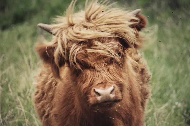 Don't you think the cow looks like Donald Trump? 🤔🤔 Domestic Animals Livestock One Animal Animal Hair Highland Cattle Field No People Focus On Foreground Day Nature Cow EyeEm Best Shots Eye4photography  EyeEm Gallery EyeEmNewHere Animal Themes