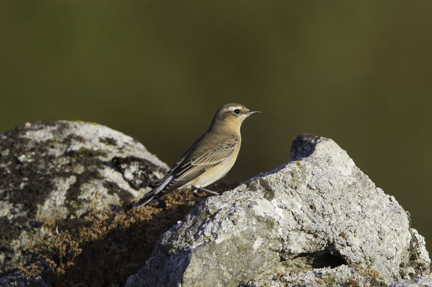 Animal Animal Themes Animal Wildlife Animals In The Wild Beauty In Nature Bird Bird Photography Close-up European Birds Nature Nature Photograhy Nature Photography No People Northern Wheatear Oenanthe Oenanthe Oenanthe One Animal Perching Songbird  Sunlight Western Palearctic Wheatear
