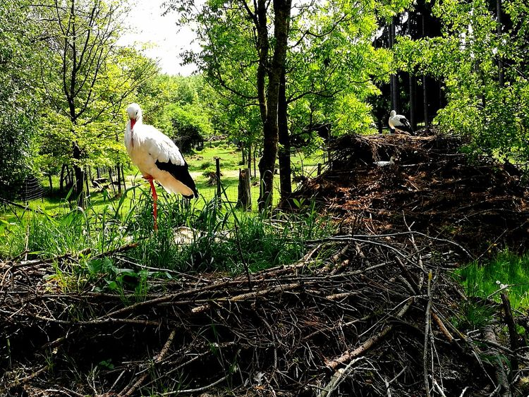 Smartphonephotography Sommer Sonne Natur Fotografie Nature Naturepure Fotofanatics_nature_ Photography Naturecapture Naturfotografie Huawei HuaweiP9 Tierpark Bayern Poing Ausflugsziel Photography Nature_collection Landscape_Collection Bird Tree Animal Themes Grass Wildlife White Stork Stork Bird Nest Animal Nest Nest