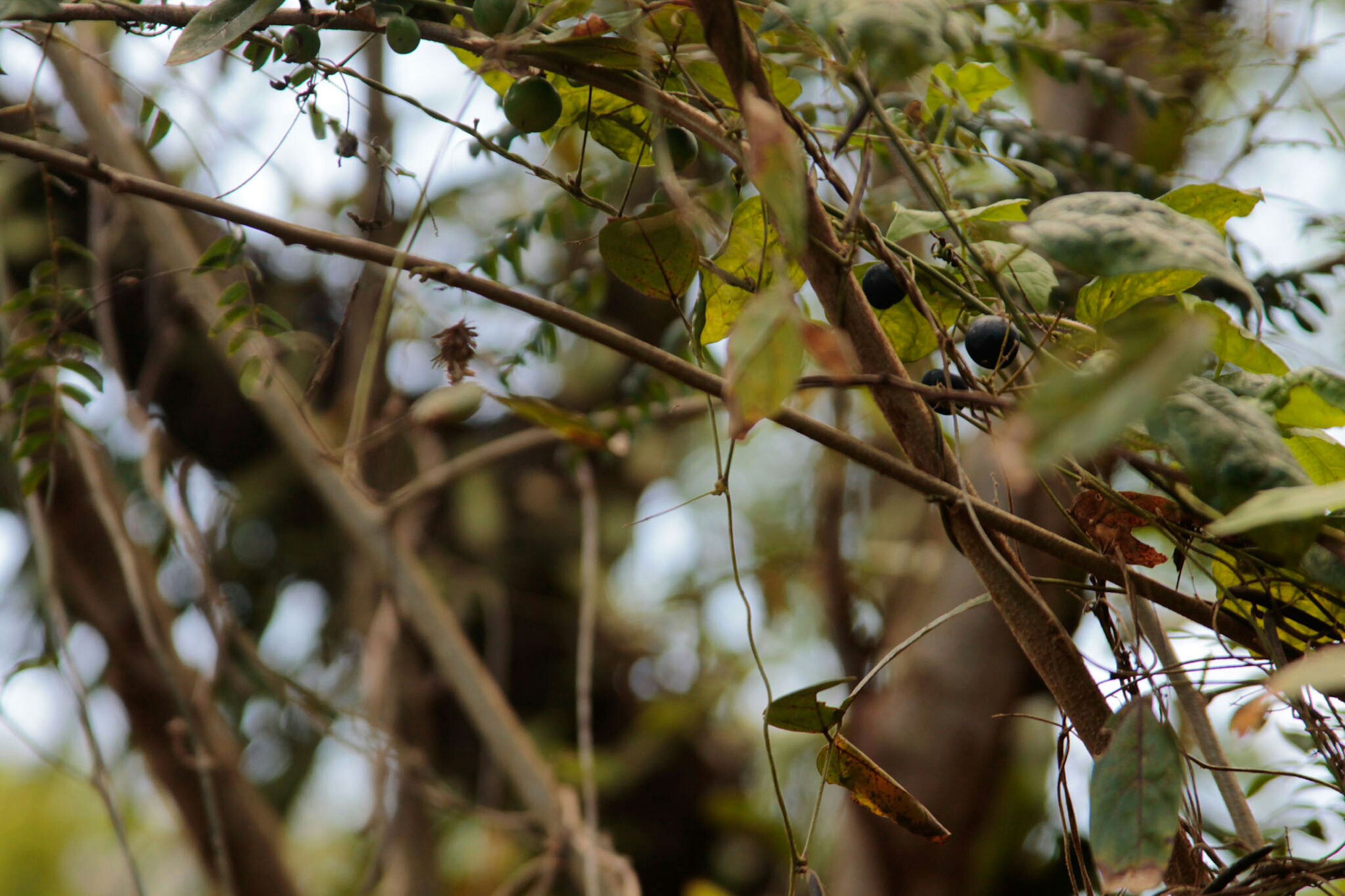 branch, tree, leaf, focus on foreground, growth, close-up, nature, selective focus, twig, low angle view, day, outdoors, animal themes, plant, animals in the wild, beauty in nature, wildlife, no people, green color, fruit