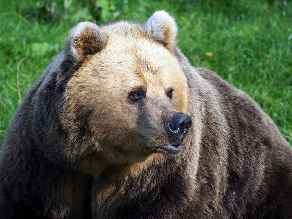 Brown Bear 1 Bear Bears Bears Galore Bears Life  Brown Eyes Brown Bear 🐻 Nature Photography Animal Head  Animal Themes Animal Wildlife Bear Close Up. Bear In Captivity Bears🐻 Beauty In Nature Brown Brown Bear Brown Bear Relaxin