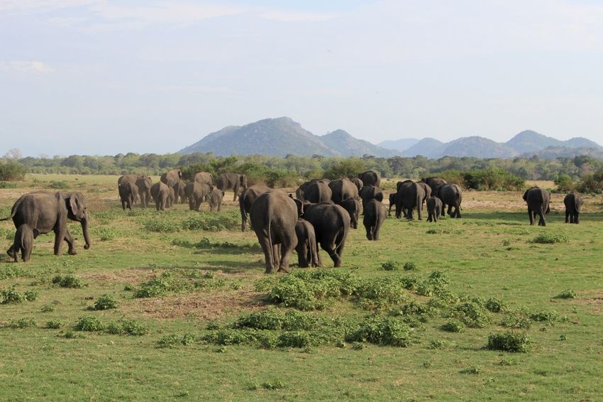 Elephants Grazing Landscape Mammal Nature Outdoors Safari Sri Lanka