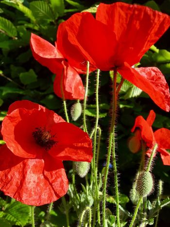 Growth Flower Fragility Beauty In Nature Plant Petal Nature Freshness Leaf Red Outdoors Day No People Flower Head Blooming Close-up Capture The Moment Klatschmohn Klatschmohnblüte