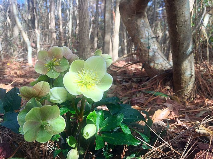 Woodland Flowers Winter Flowers Winter Garden Hellebore Helleborus Green Flowers  Winter Nature Leaf Plant Flower Beauty In Nature Growth Outdoors Day WoodLand Green Color No People Forest Tree Trunk Tree Springtime Freshness Close-up Flower Head