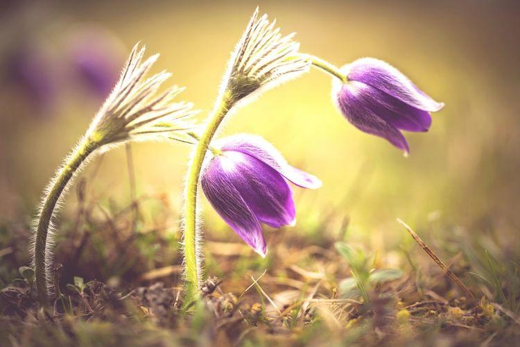 Made In Romania Romantic❤ Reci Forest Pulsatilla Vulgaris Dedițel Spring Spring Flowers