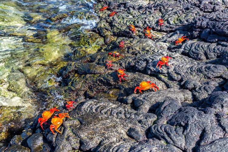 Lightfoot crabs on volcanic rock on Santiago Island in the Galapagos Islands in Ecuador Bay Beach Beautiful Blue Coast Ecuador Galapagos Galapagos Islands Island Islands Landscape National Park Nature Ocean Outdoors Sand Santiago Island Scenic Sea Seascape Shore South America Tropical Turquoise Water