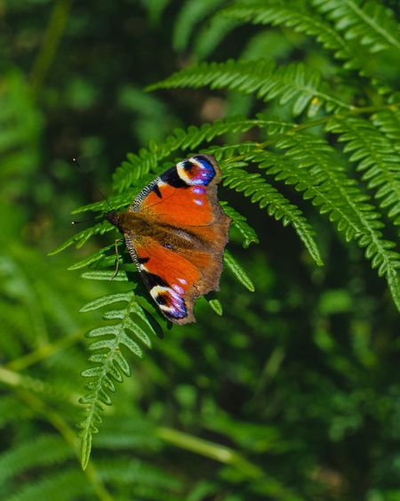 what a beauty! Butterfly European Peacock Butterfly Animal Themes Animal Wildlife Insect Animals In The Wild Animal One Animal Invertebrate Green Color Plant Part Plant Close-up Leaf Nature Focus On Foreground Beauty In Nature No People Day Outdoors Animal Wing Growth