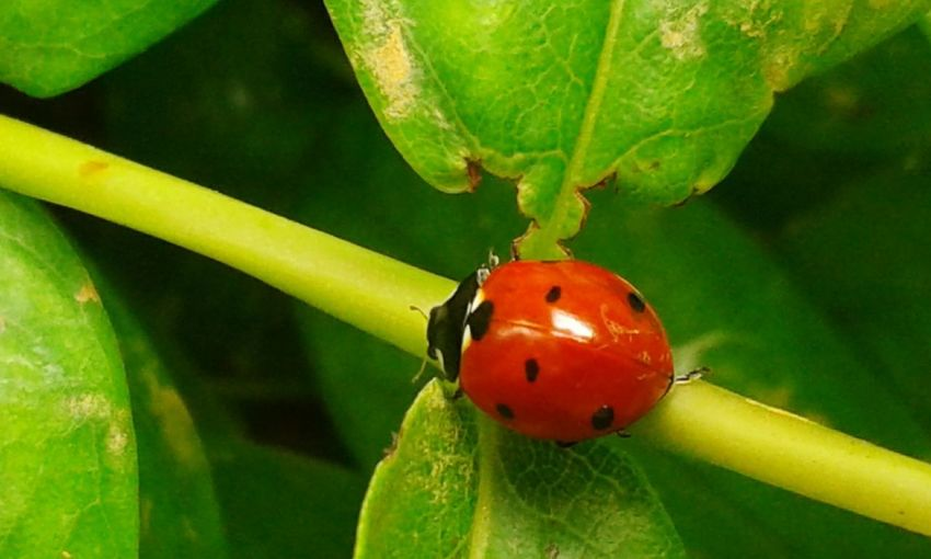 Nature_collection Nature Photography Nature Insect Insects  Insect Photography Insects Collection Insect Paparazzi Insect Photo Insects Beautiful Nature Insects Of The World Coccinelle Coccinelles🐞 Coccinelle🐞 Coccinella Coccinella Fortunata Ladybug Leaf Red Insect Close-up Plant Green Color Vine - Plant