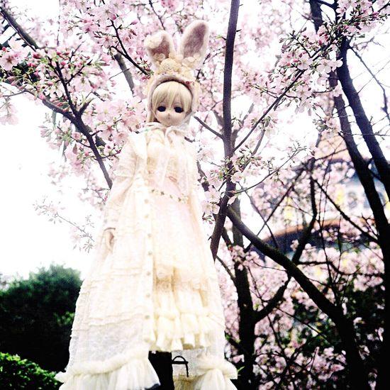 聽說是很貴的娃娃 娃娃 櫻花 天元宮 台灣 淡水